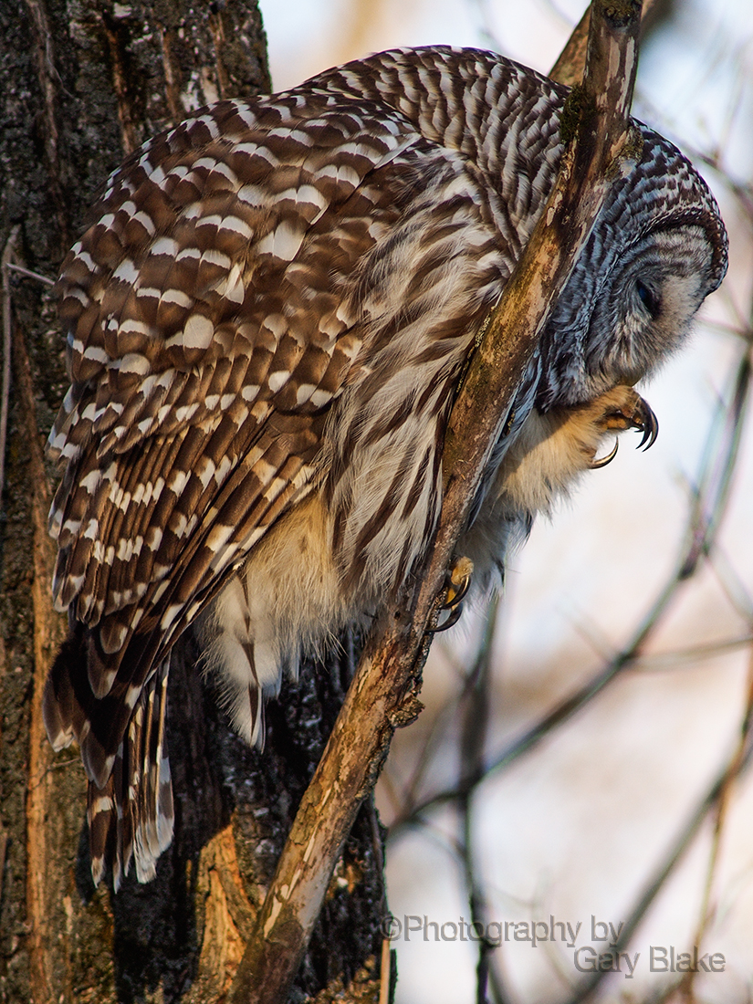 Barred owl, preening claws