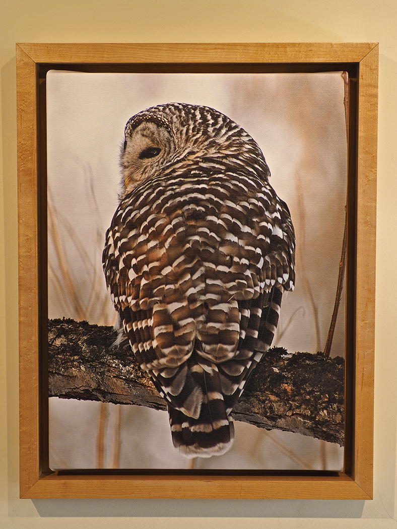 Framed canvas print, barred owl at sunset