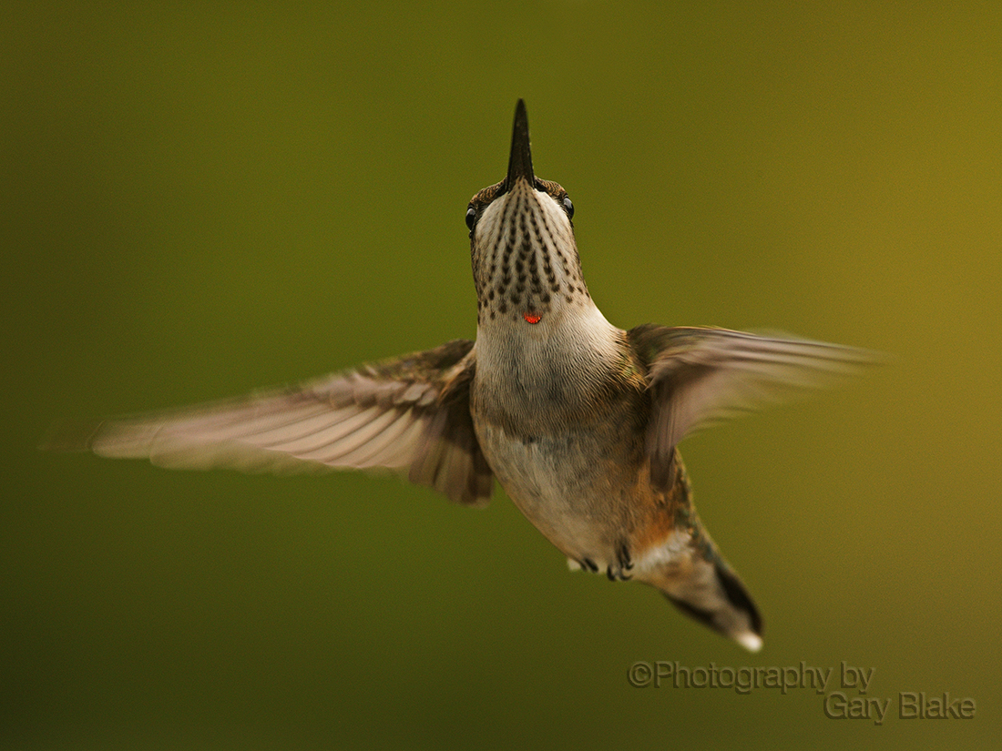 Juvenile male ruby throated hummingbird