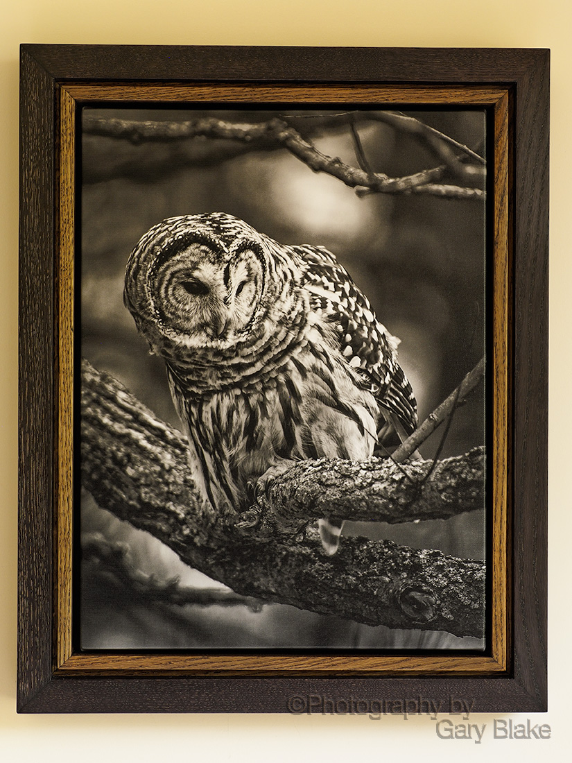 Barred owl, black and white on canvas, custom oak frame