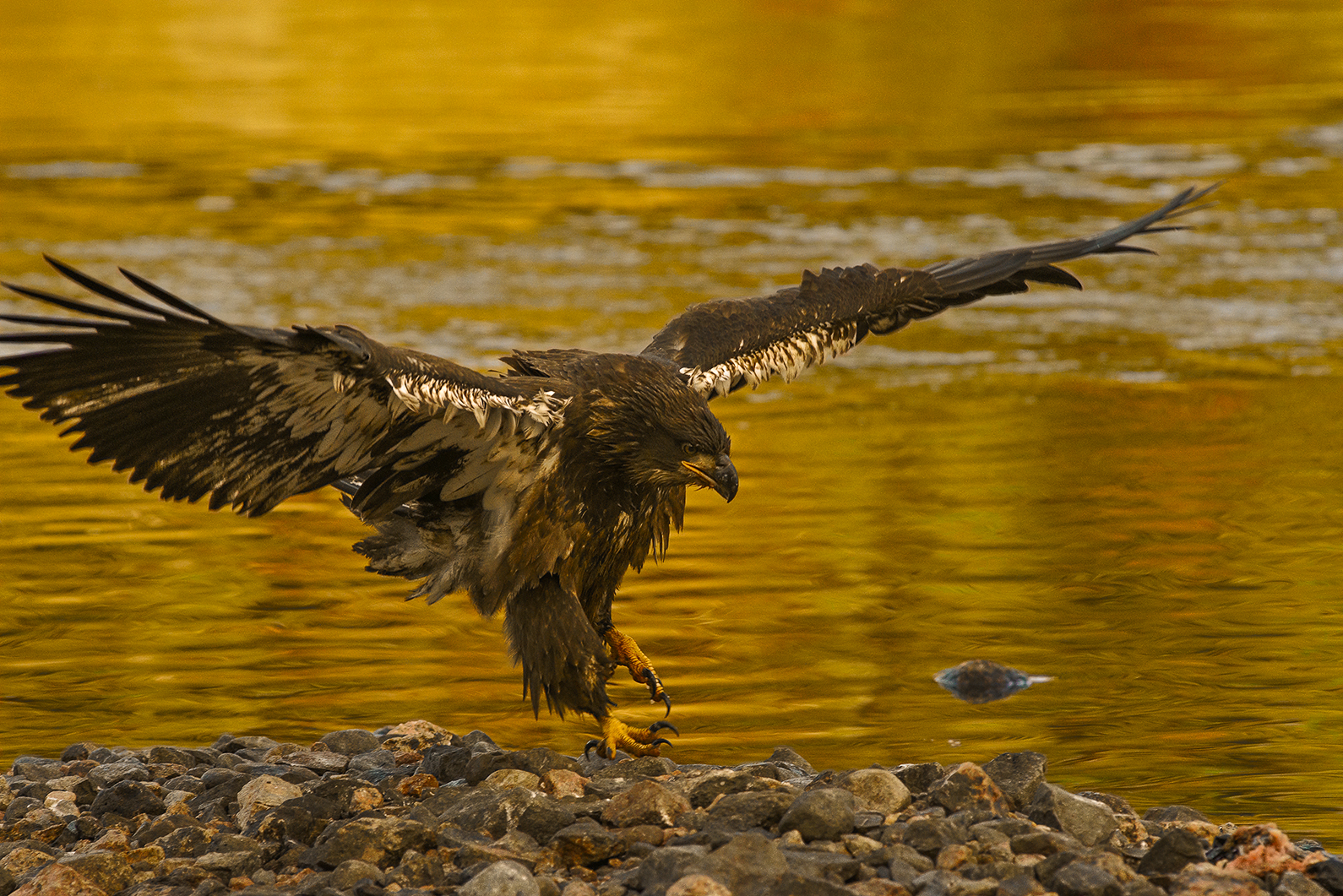 Juvenile bald eagle landing at sunset
