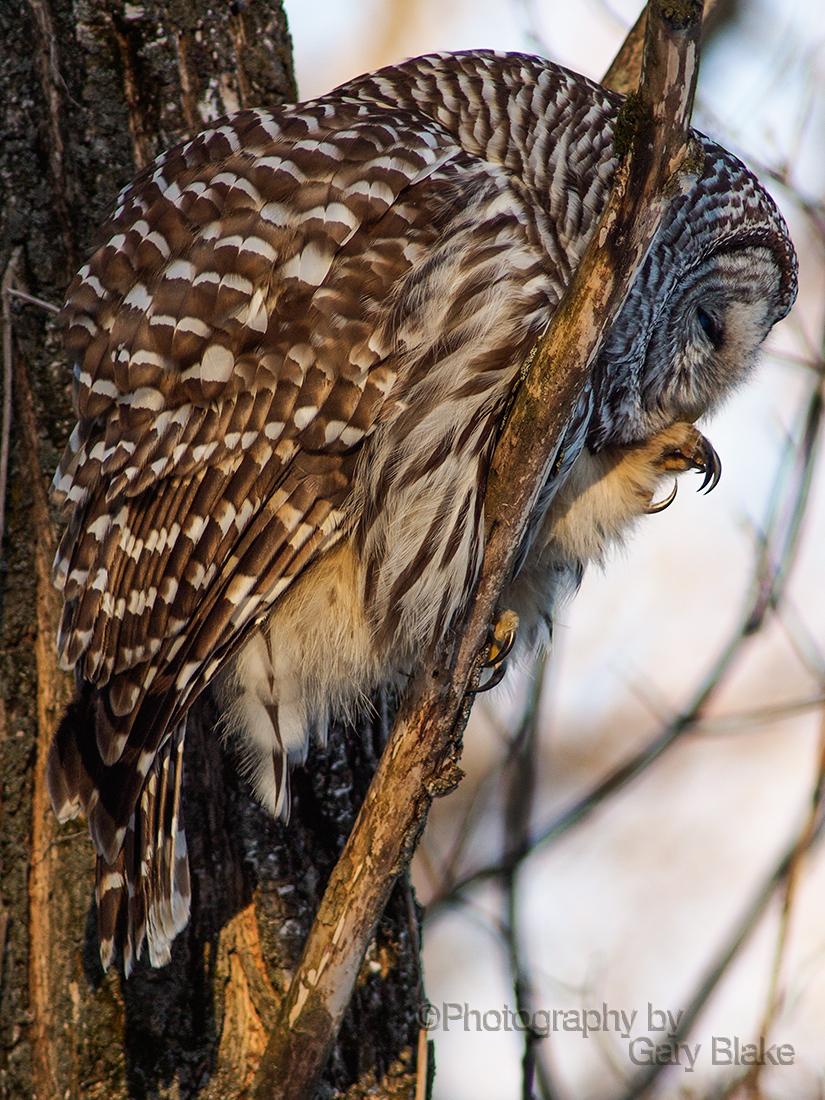 Barred owl, preening claws