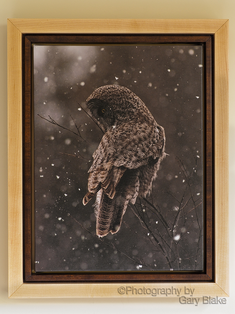 Great Grey owl on canvas, custom maple frame