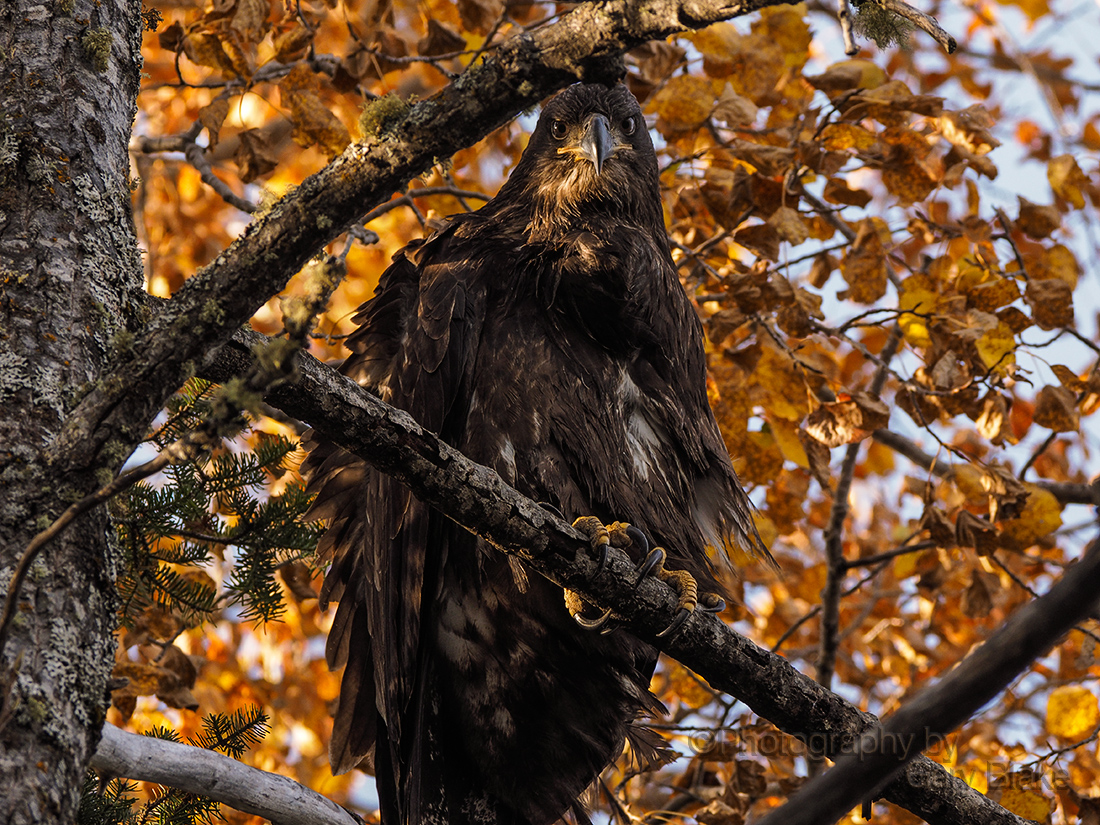 Bald eagle, immature